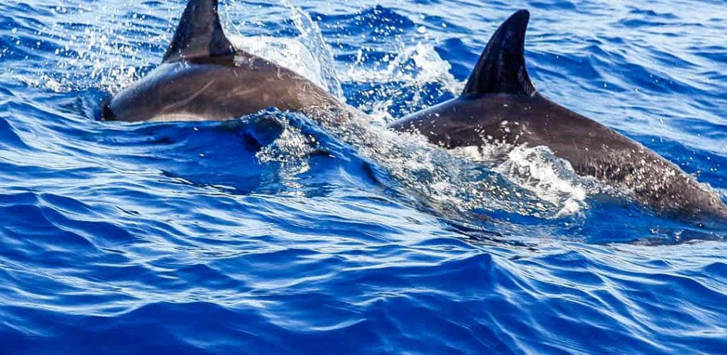 Two dolphins in the blue ocean water in La Palma. La Palma - The Hidden Gem of the Canary Islands, article by Kiss My Backpack at https://www.kissmybackpack.com/
